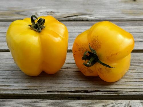 Tomates farcies, la cocotte, la voix du nord